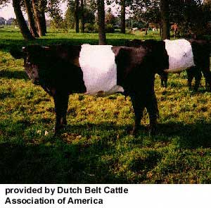 dutchbelted-web-1.jpg