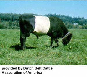 dutchbelted-web-2.jpg