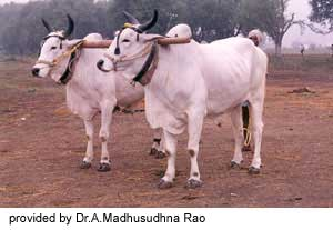 Ongole Bull Pictures