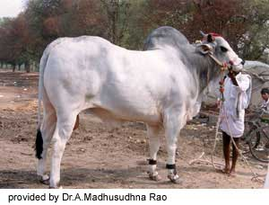 breeds of cattle in India