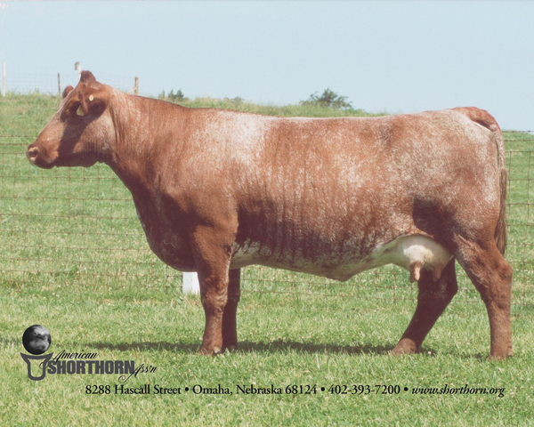 shorthorn cow.jpg