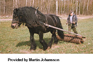 north-swedish-horse-1.jpg