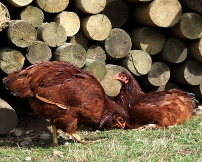 Poultry Breeds Buckeye Chickens Breeds Of Livestock