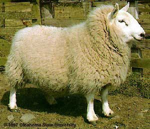 Sheep Breeds — Breeds of Livestock, Department of Animal Science