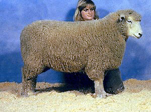 Breeds Of Livestock Romney Sheep Breeds Of Livestock