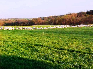 Sheep field.jpg