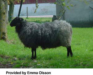 swedish-fur-sheep-1.jpg
