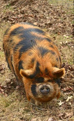 Breeds Of Livestock Kunekune Swine Breeds Of Livestock